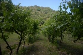 cosecha de uva en rio ceballos